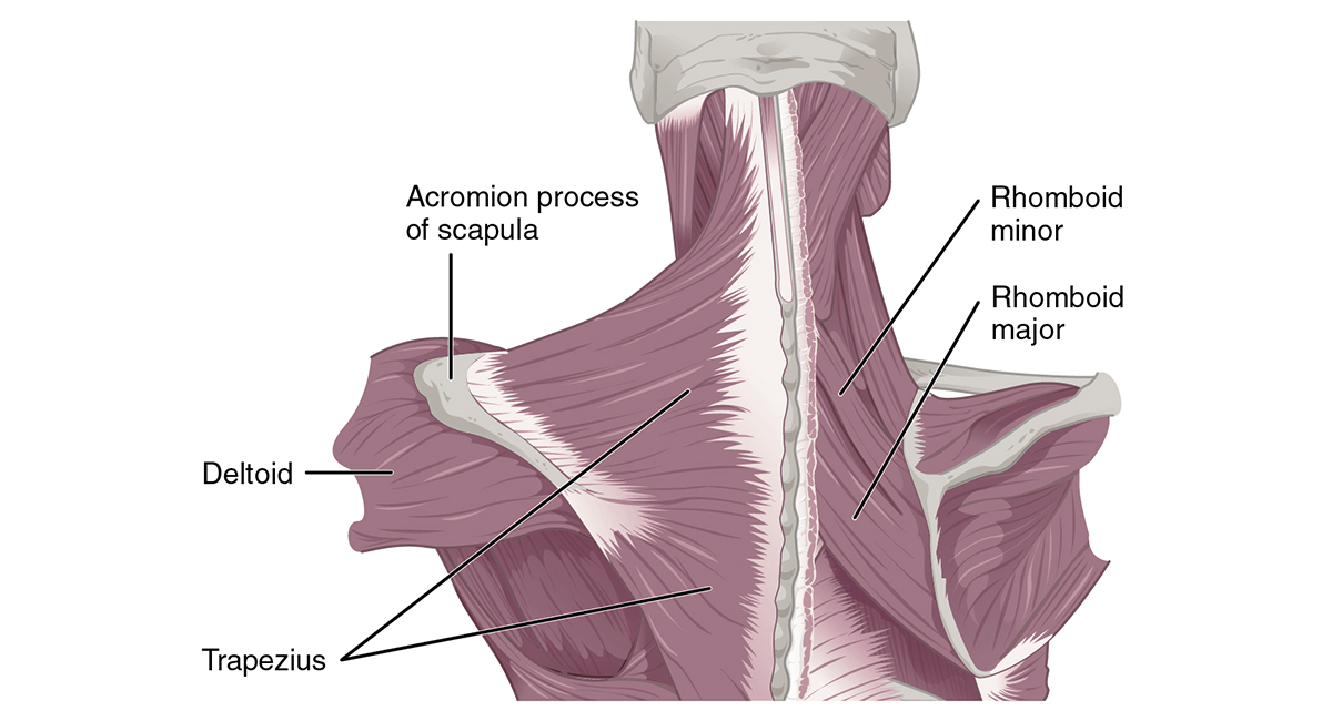 Muscles that Position the Pectoral Girdle posterior