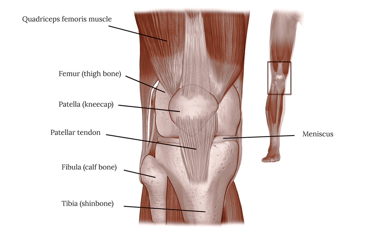 Anatomy of the Knee Illustration