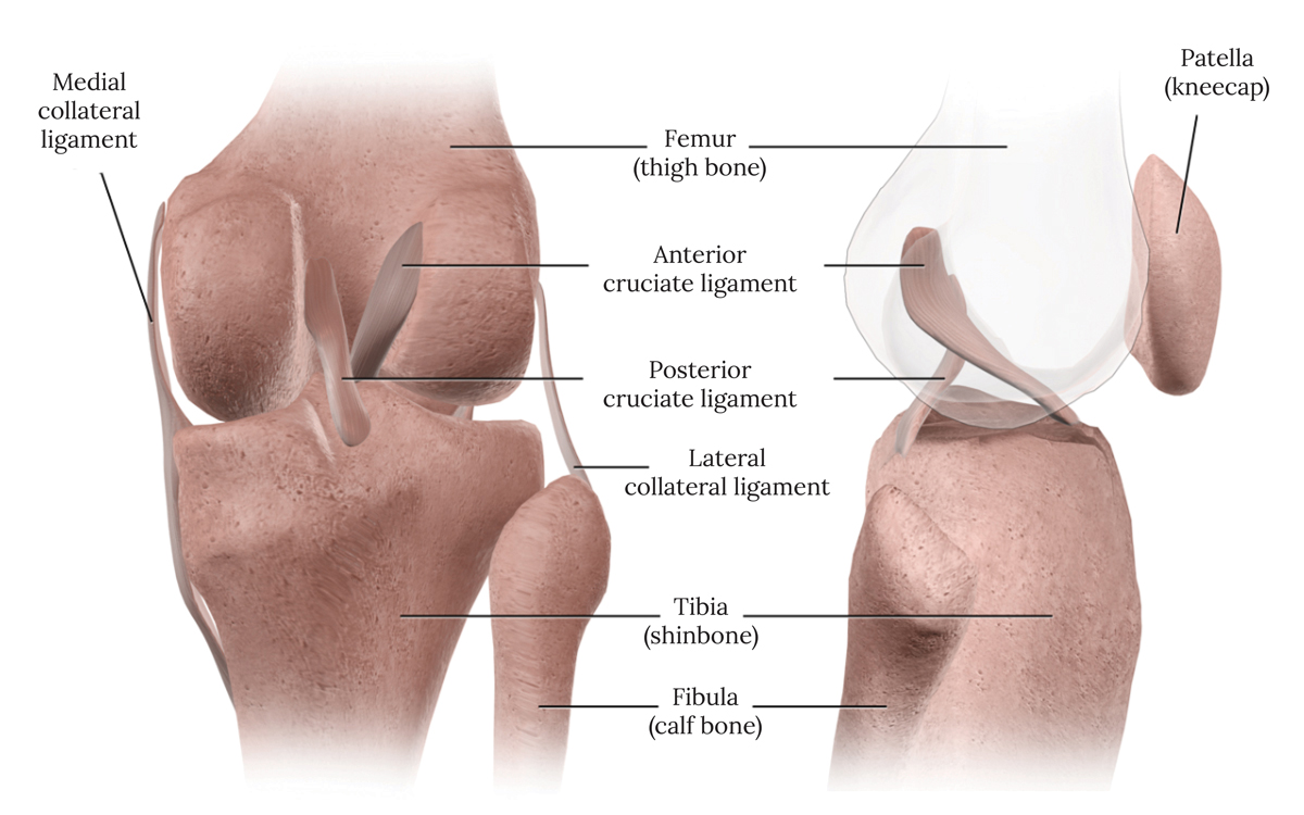 Ligaments of the Knee Illustration