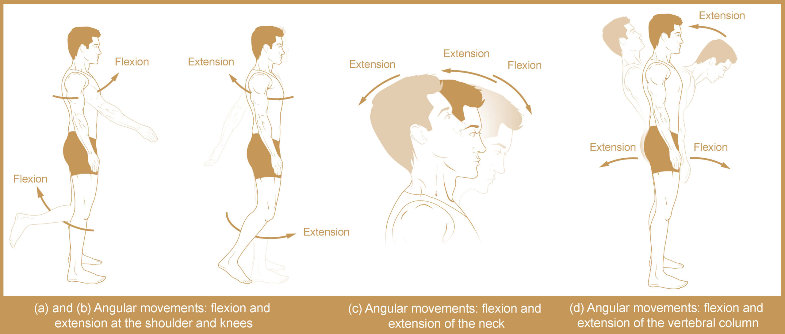 Types of Body Movement - Flexion & Extension