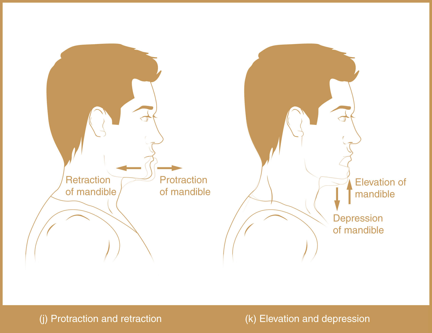 Types of Body Movement - Retraction, Protraction, Elevation, Depression