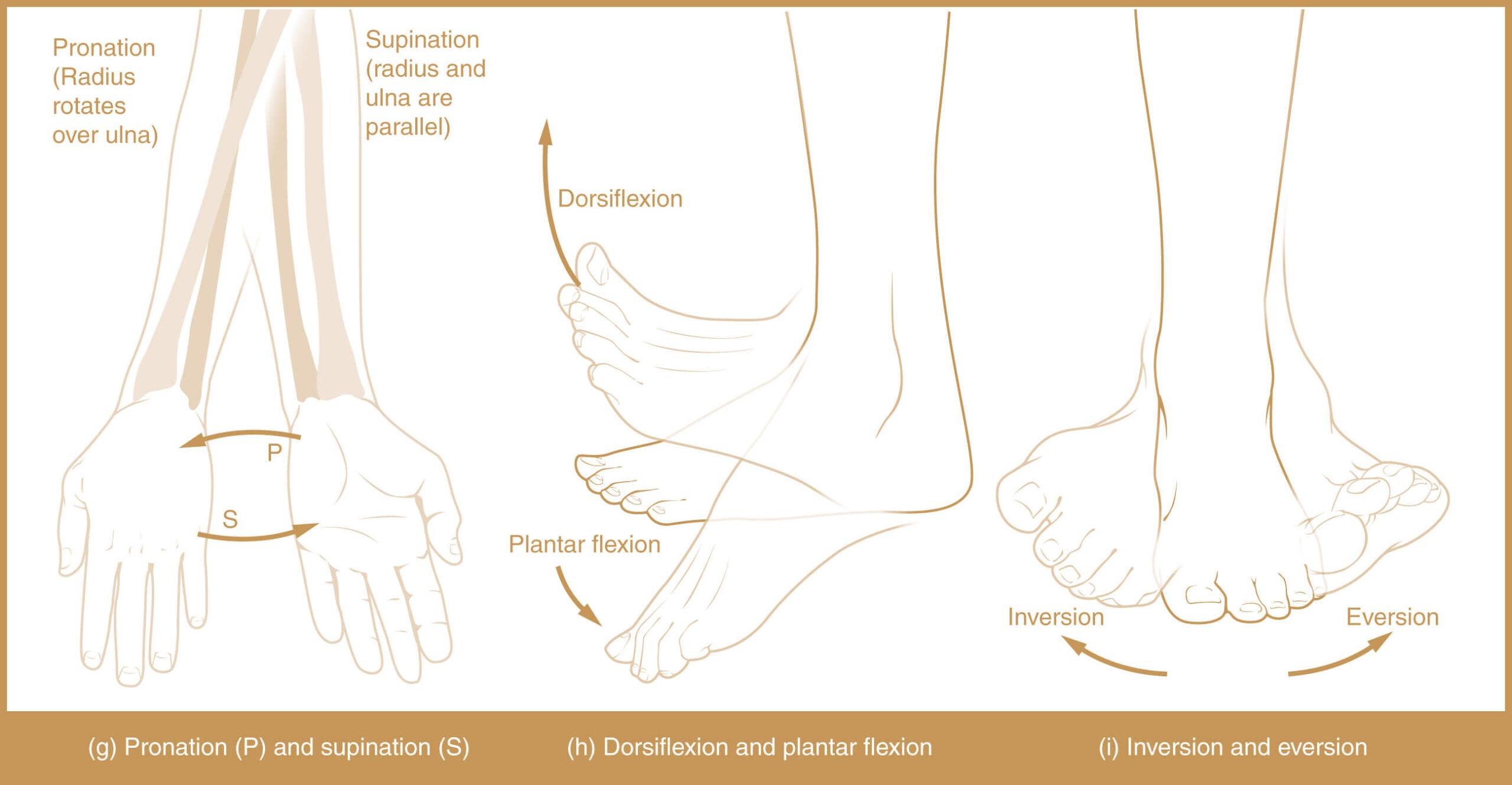 Types of Body Movement - Supination, Pronation, Plantar flexion, Dorsiflexion, Inversion, Eversion