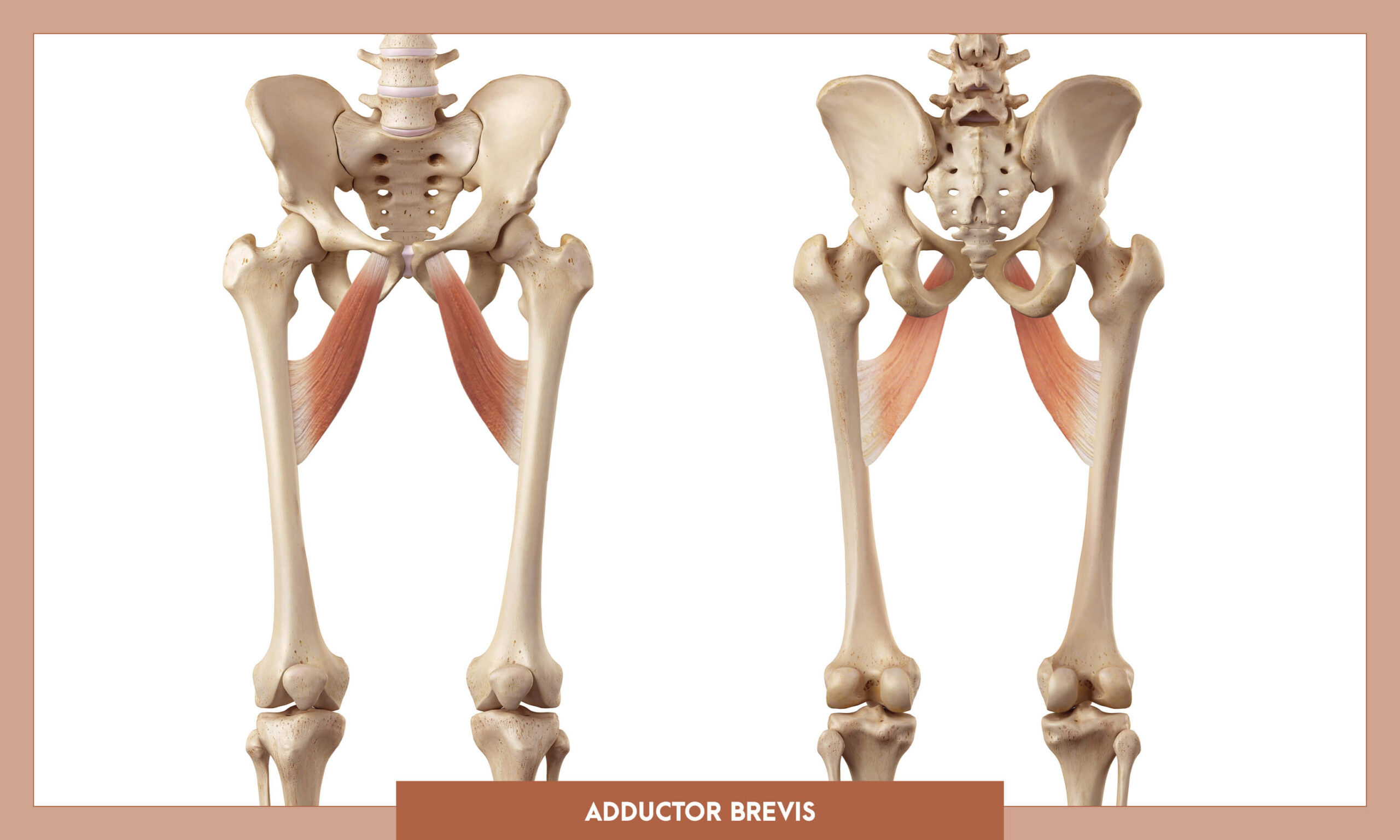 Muscles of thee Lower Limb - Adductor brevis