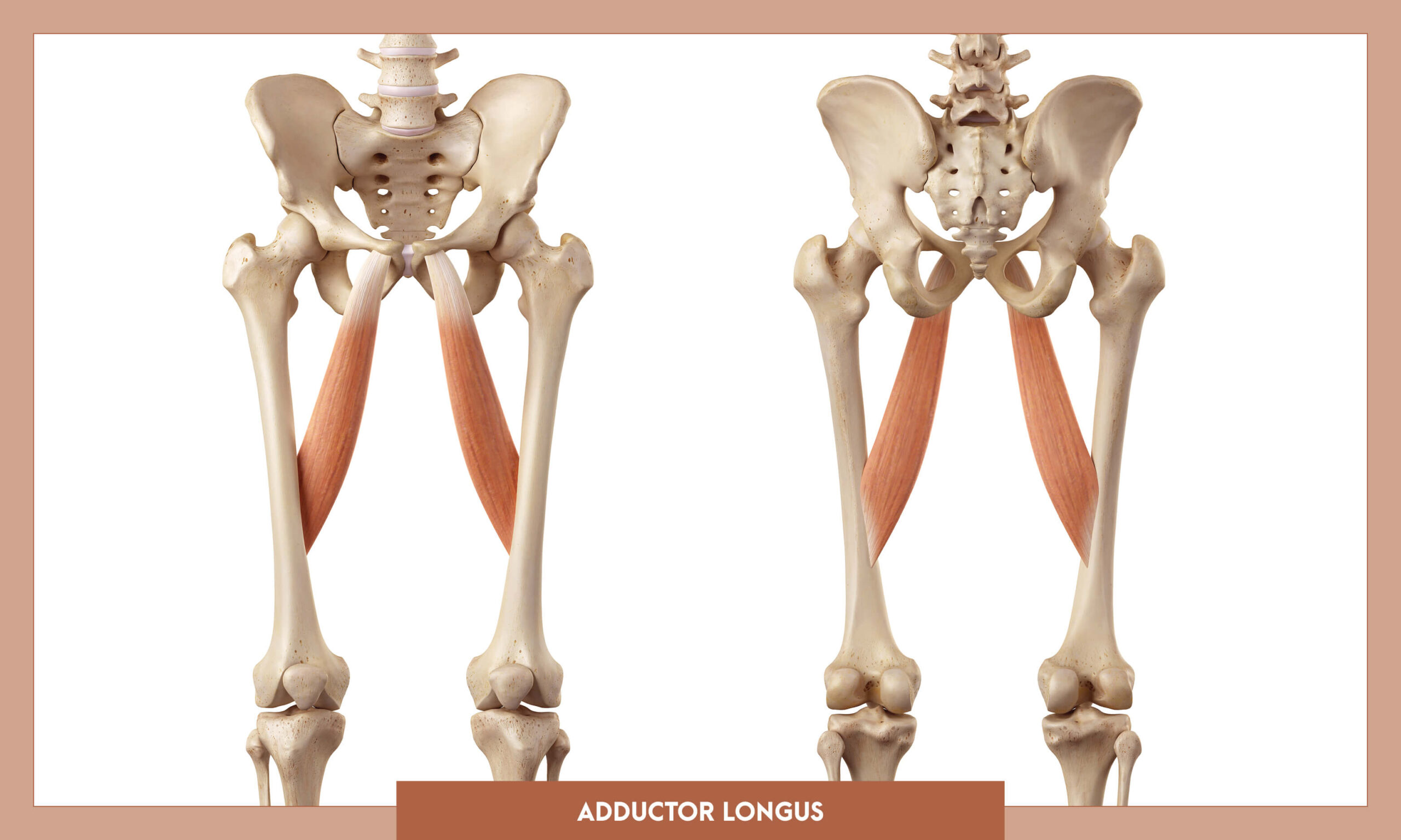 Muscles of thee Lower Limb - Adductor longus
