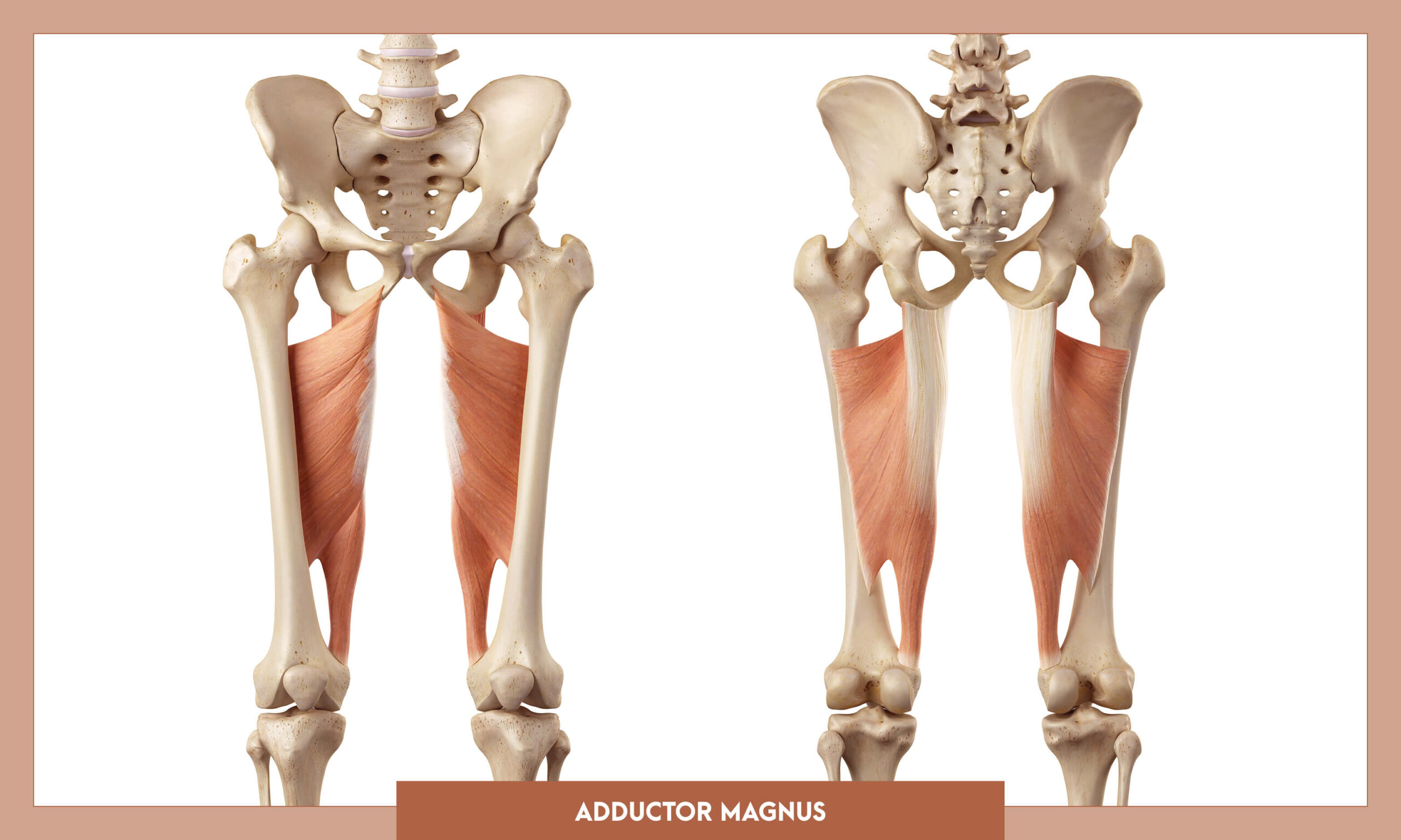 Muscles of thee Lower Limb - Adductor magnus