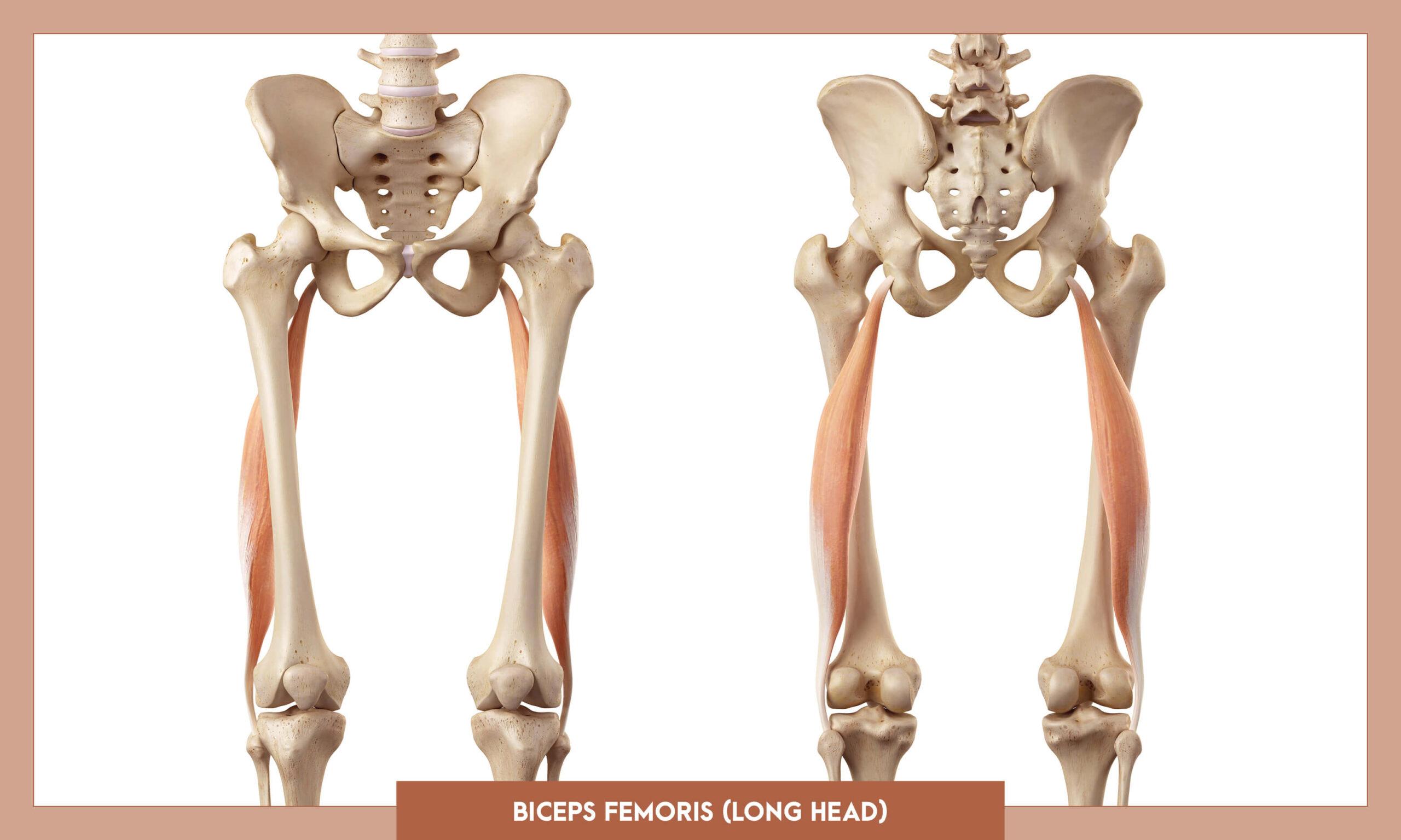 Muscles of the Lower Limb -Biceps femoris long head