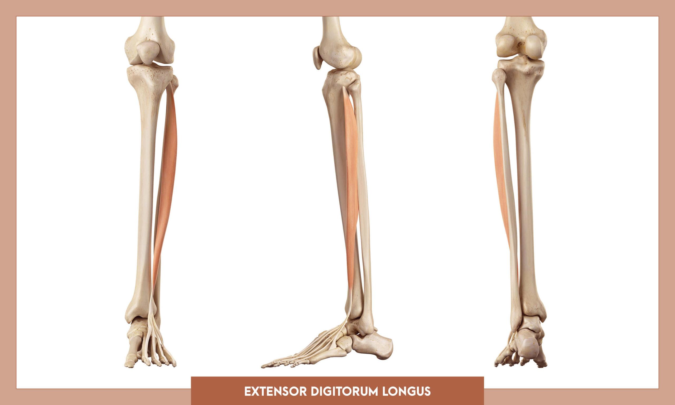 Muscles of thee Lower Limb - Extensor digitorum longus