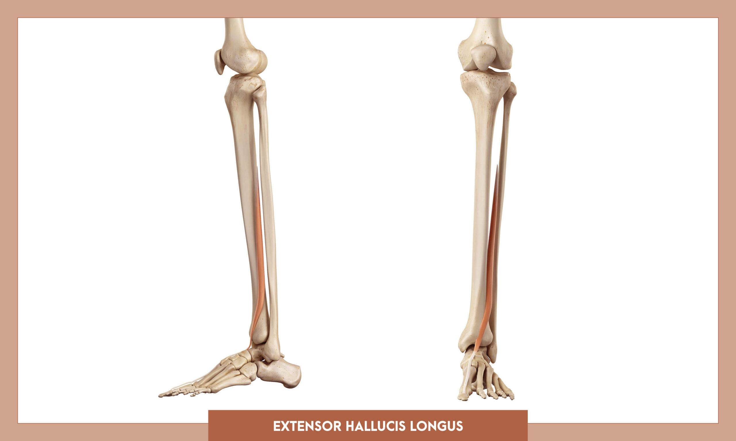 Muscles of thee Lower Limb - Extensor hallucis longus