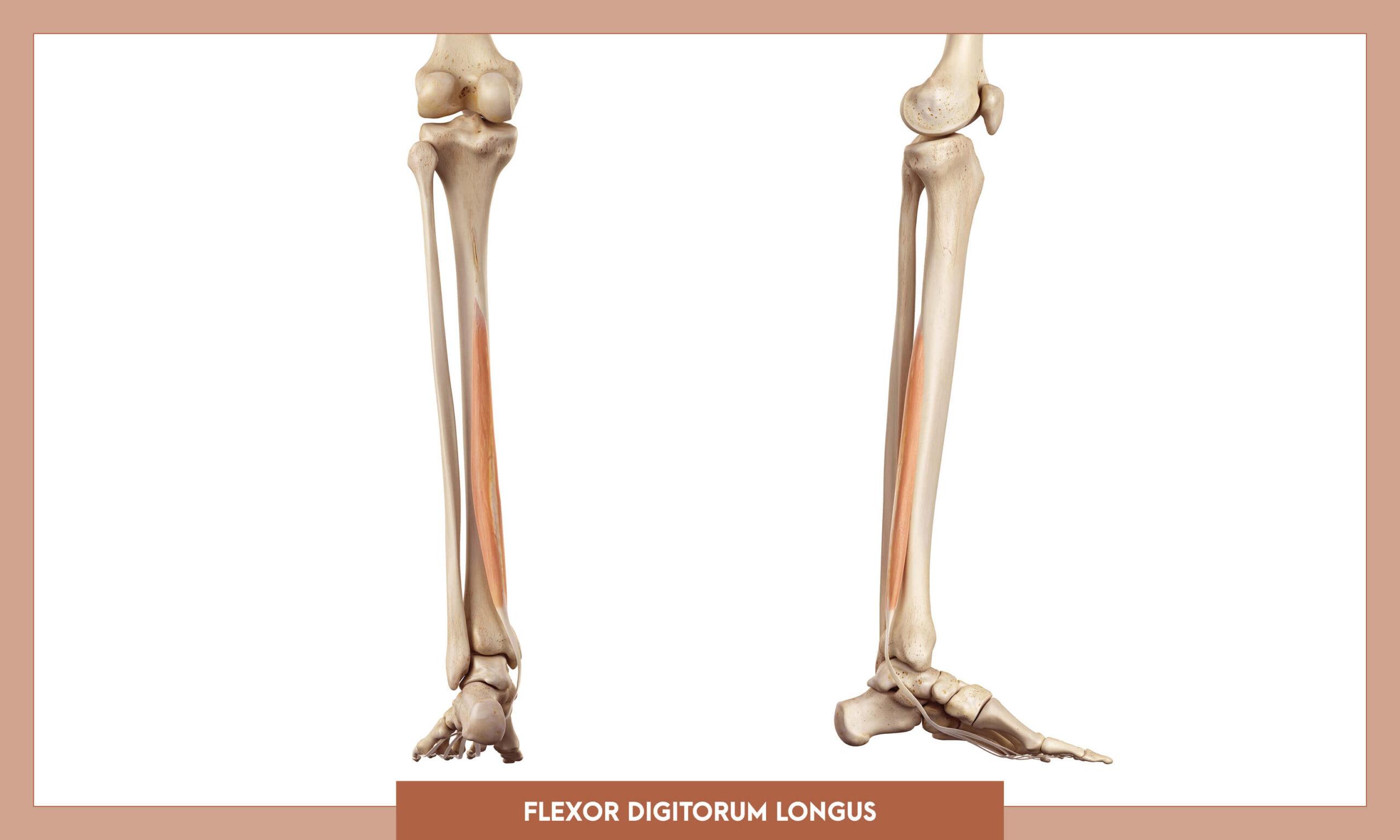 Muscles of thee Lower Limb - Flexor digitorum longus