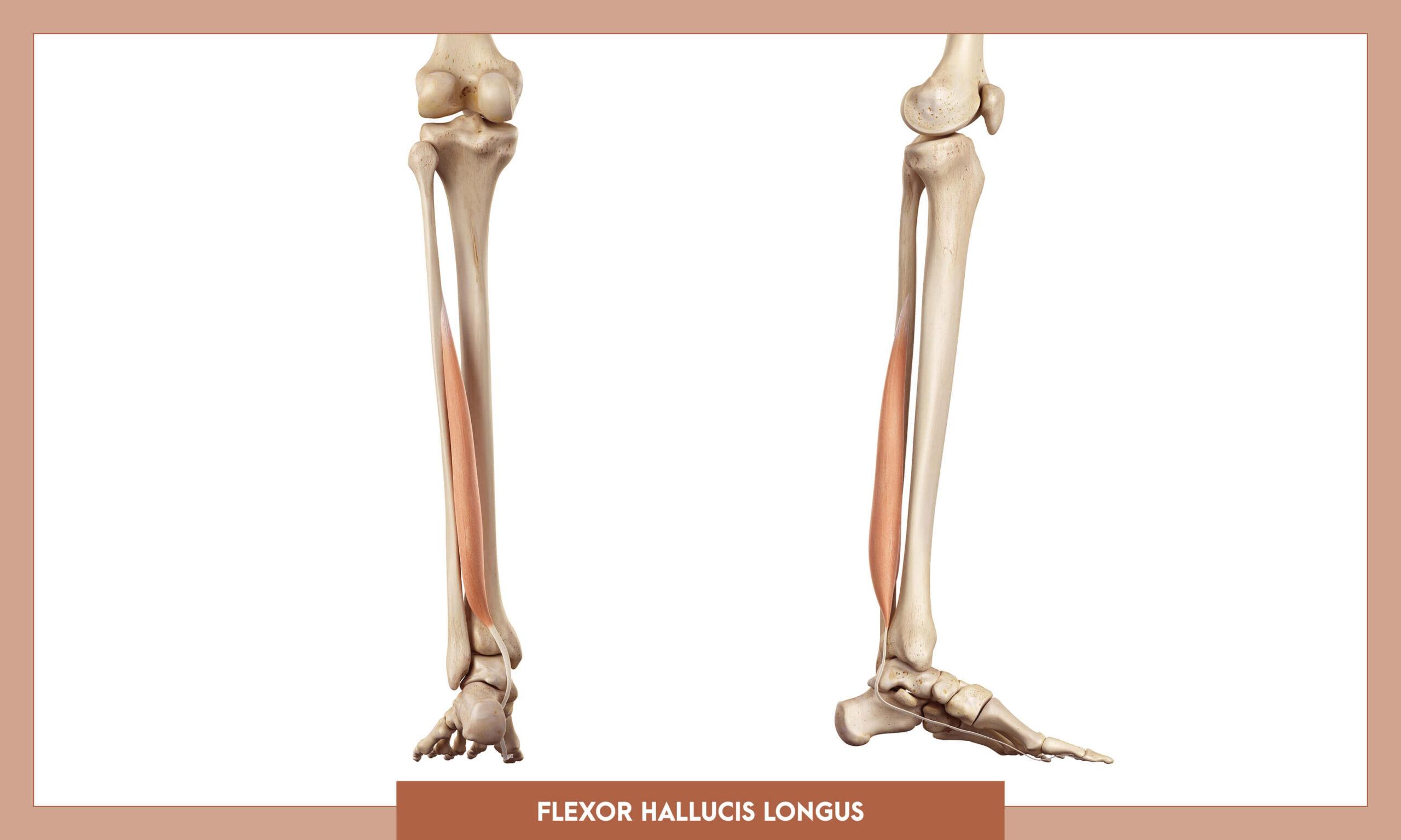 Muscles of thee Lower Limb - Flexor hallucis longus