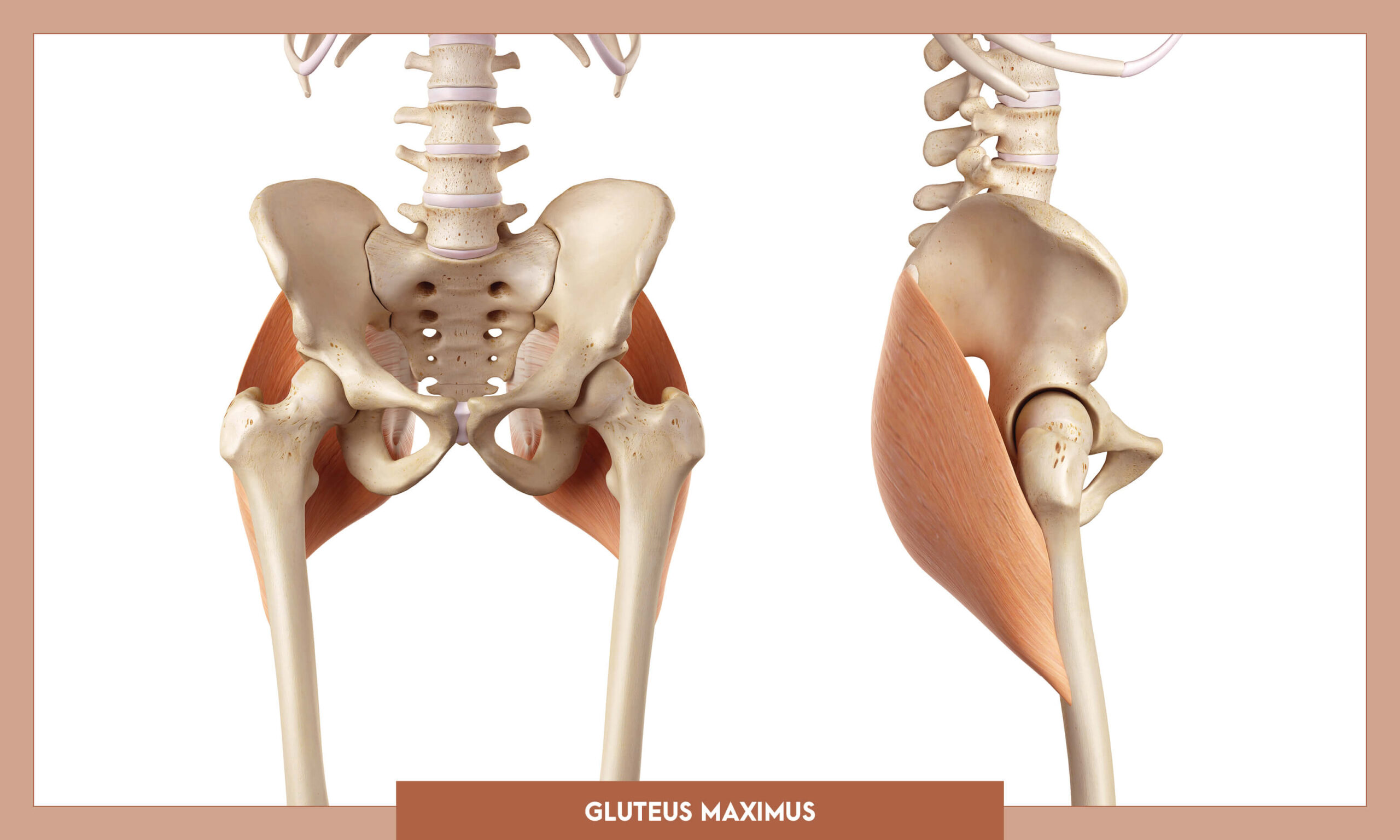 Muscles of thee Lower Limb - Gluteus maximus