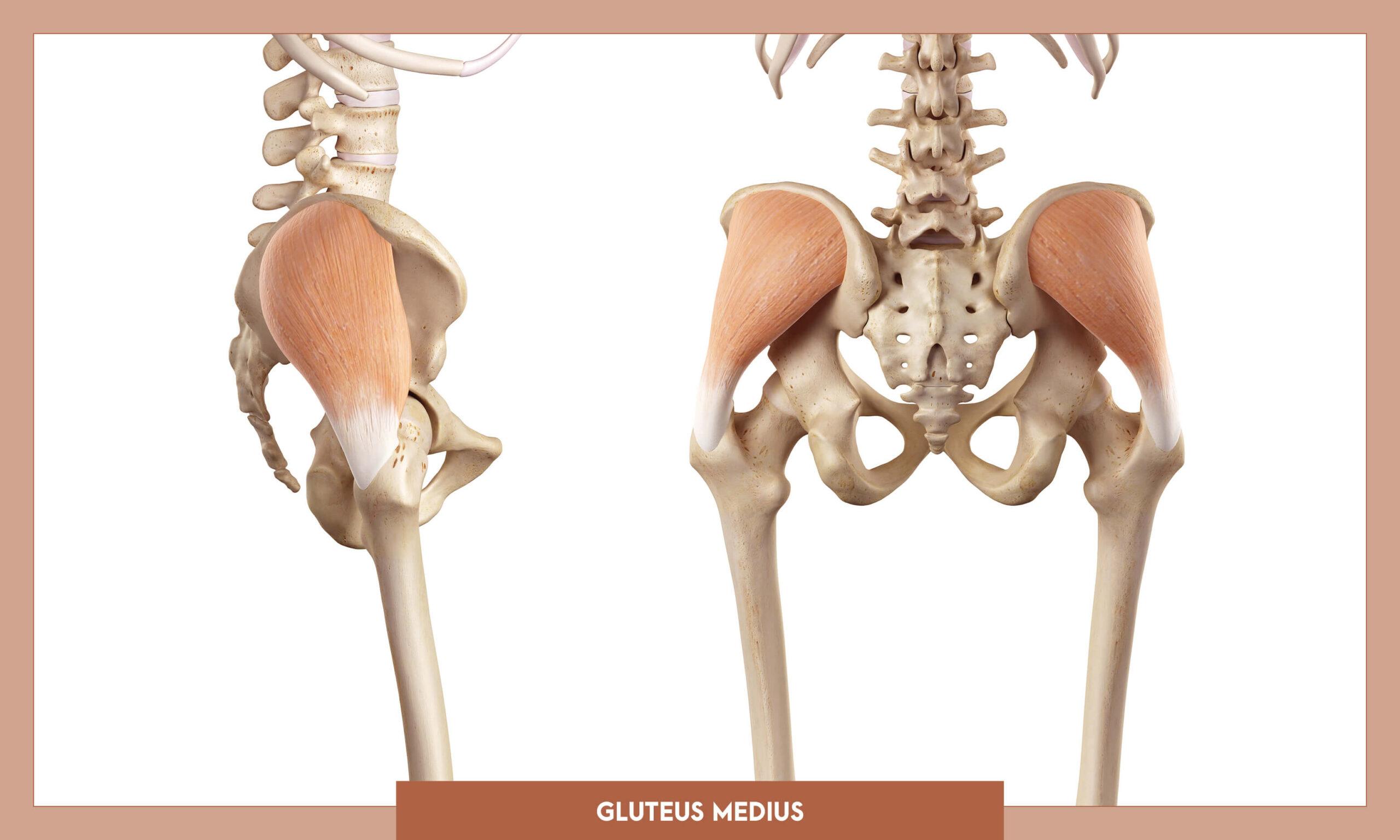 Muscles of thee Lower Limb - Gluteus medius