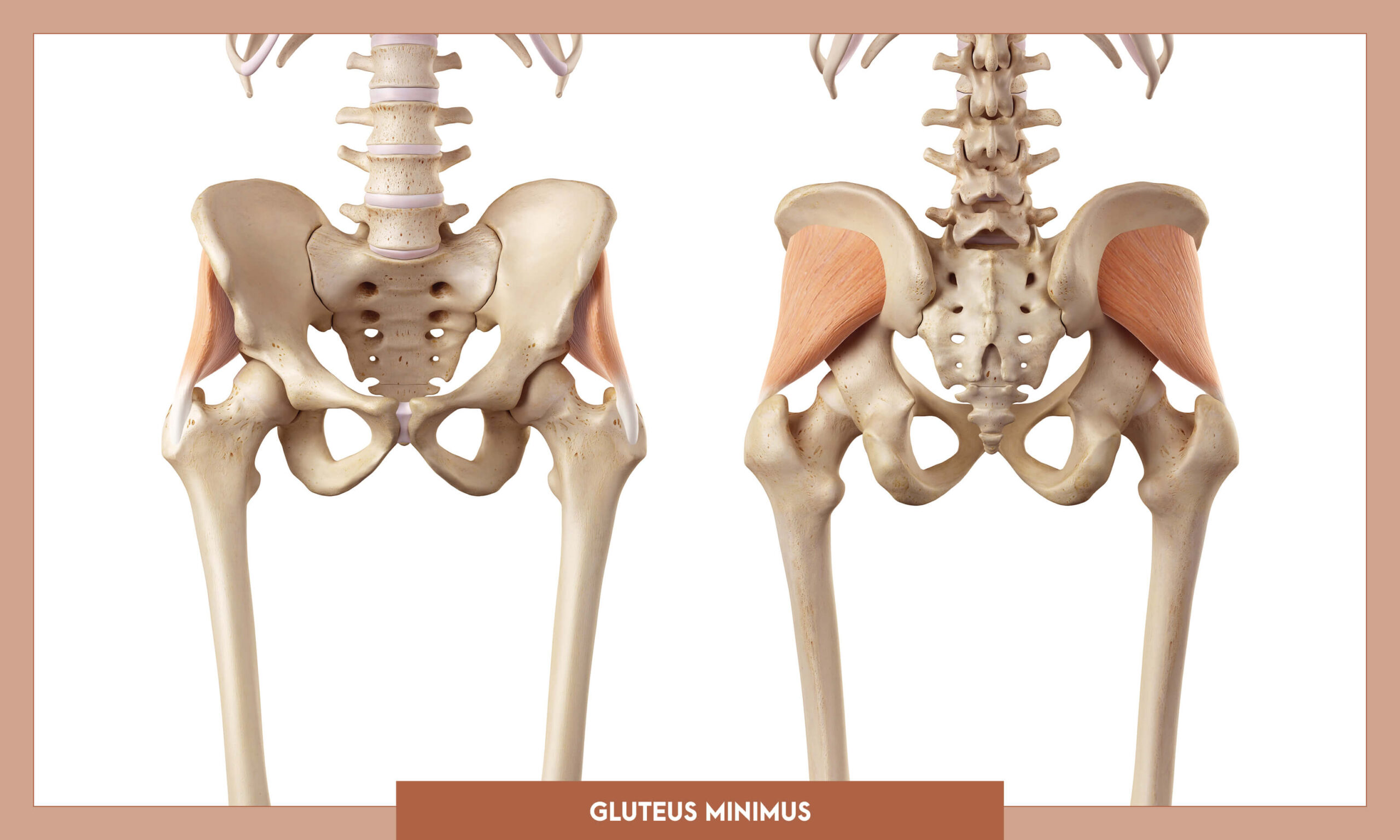 Muscles of thee Lower Limb - Gluteus minimus