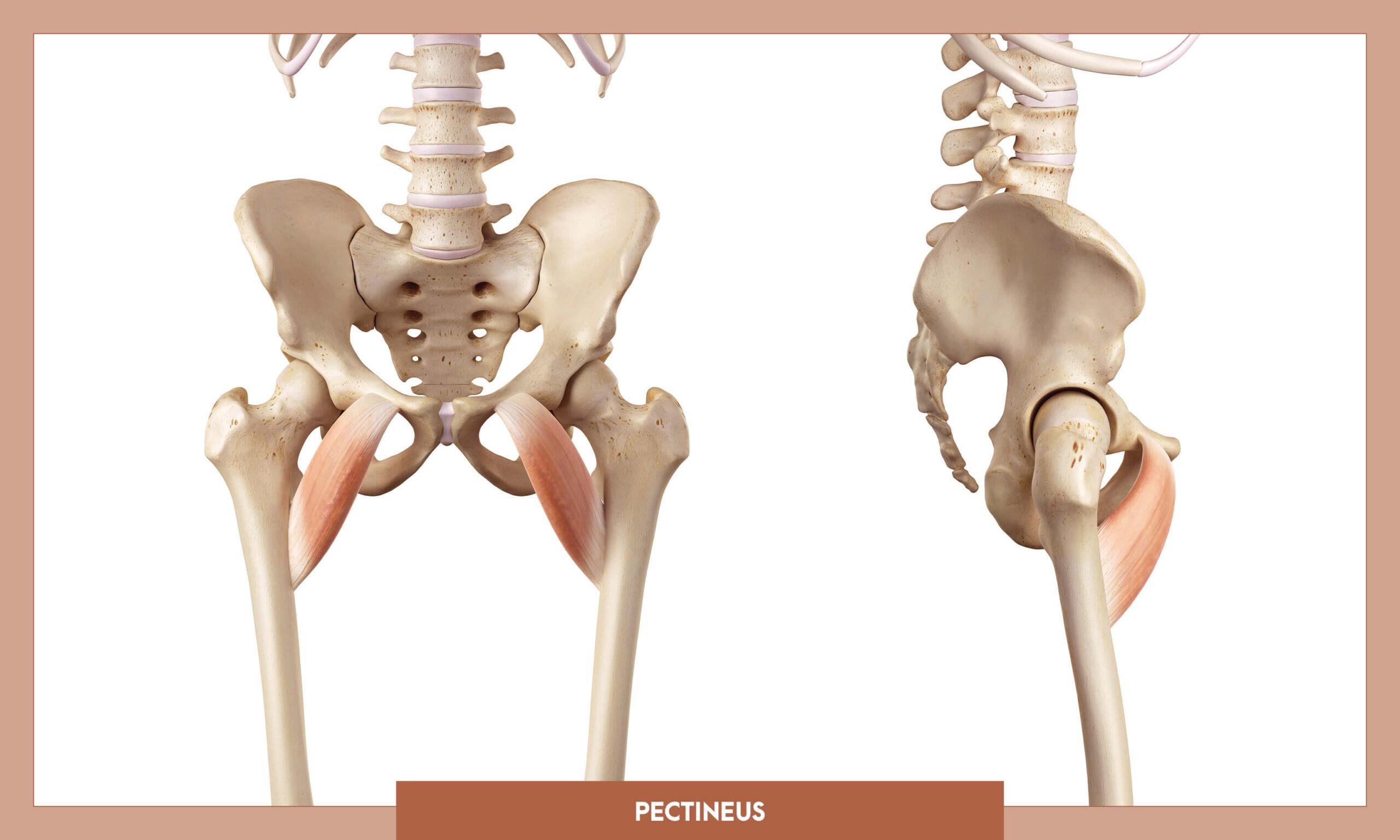 Muscles of thee Lower Limb - Pectineus