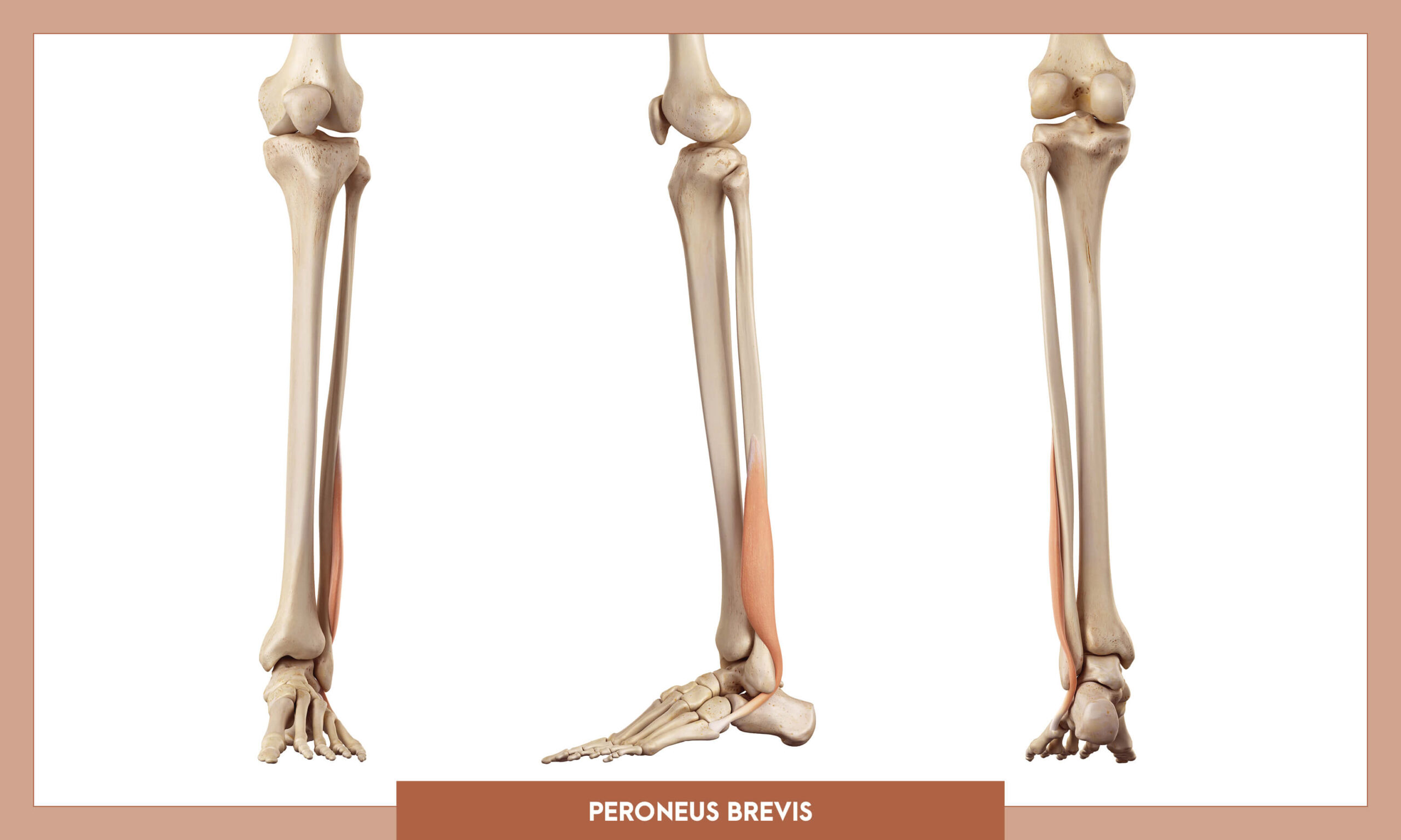 Muscles of thee Lower Limb - Peroneus brevis
