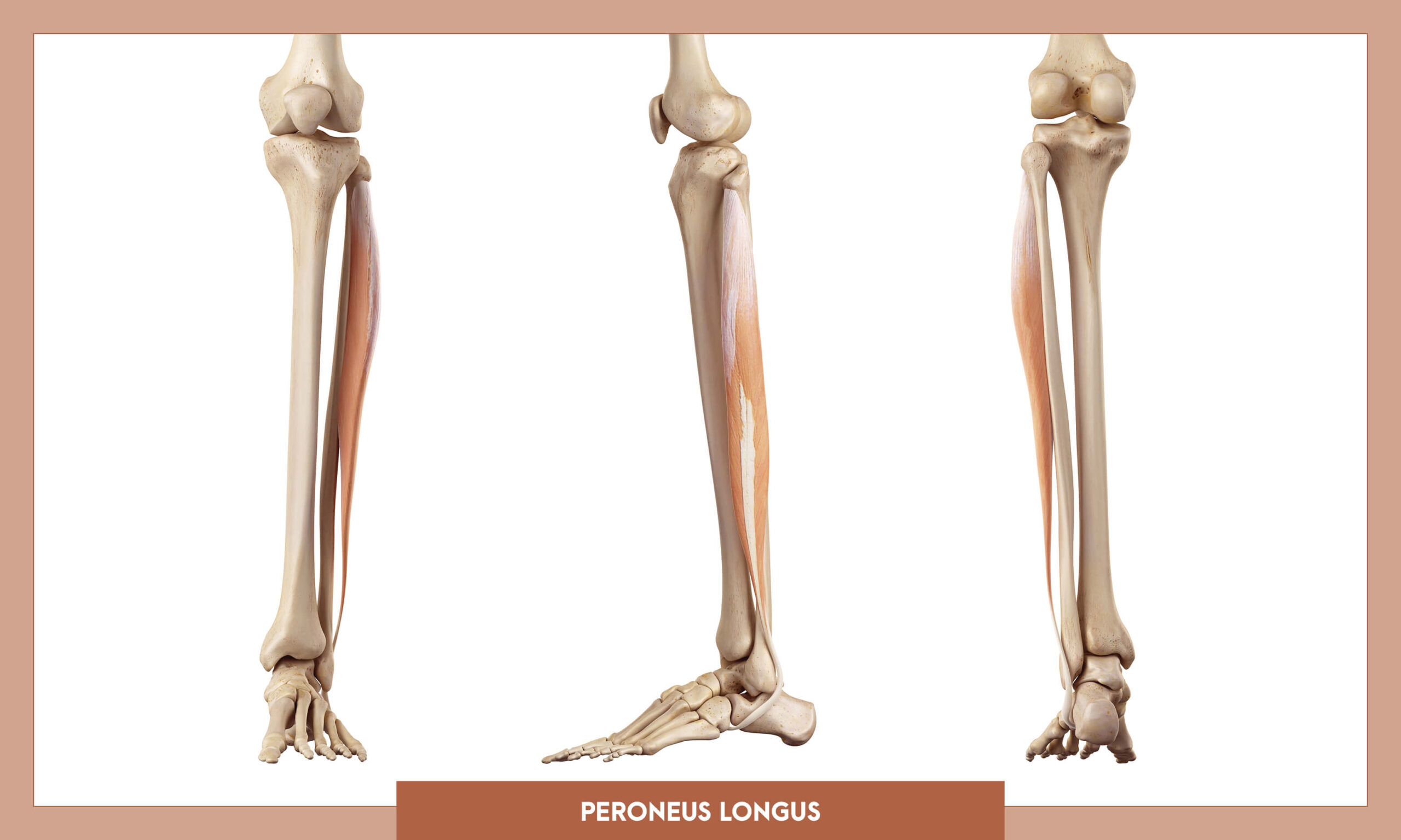 Muscles of thee Lower Limb - Peroneus longus