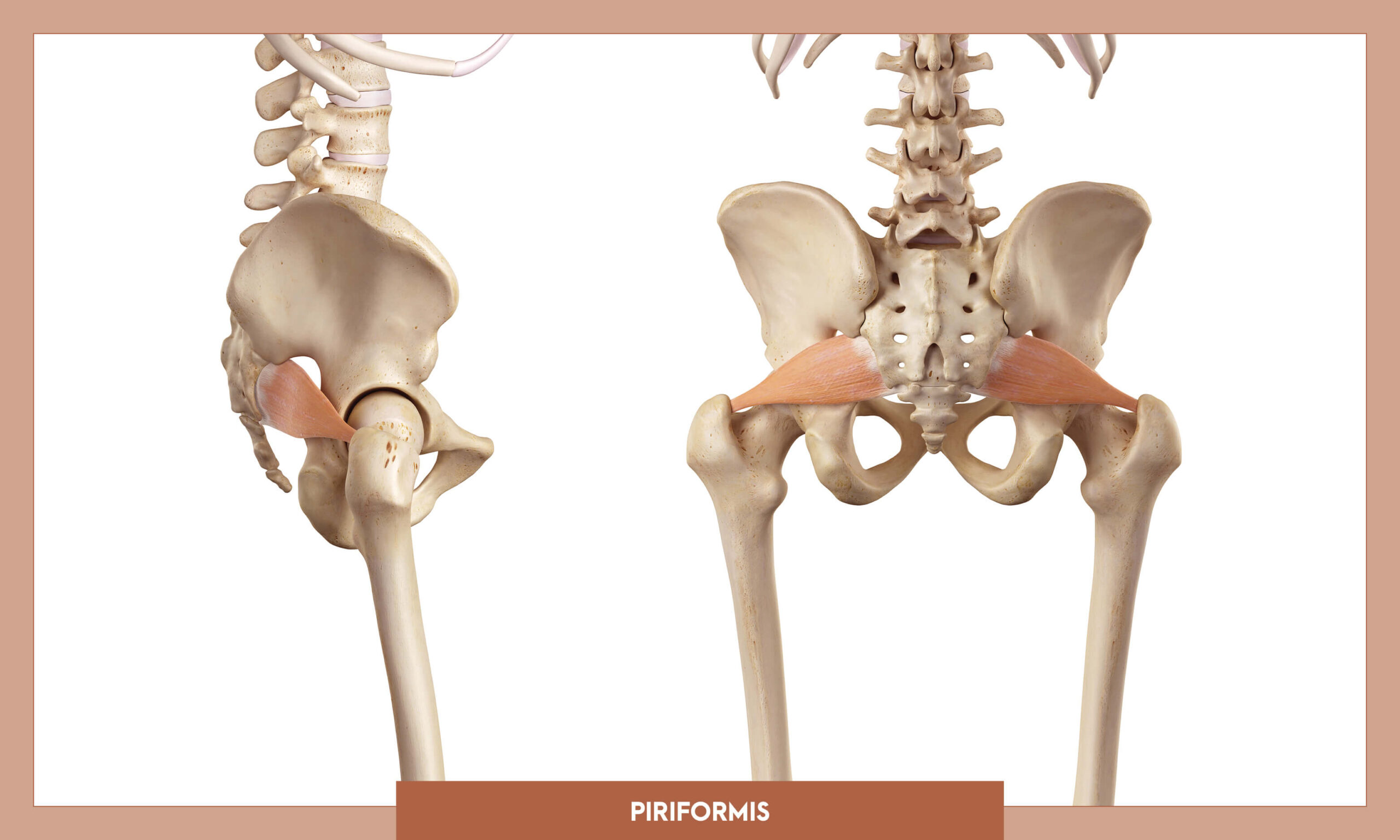 Muscles of thee Lower Limb - Piriformis
