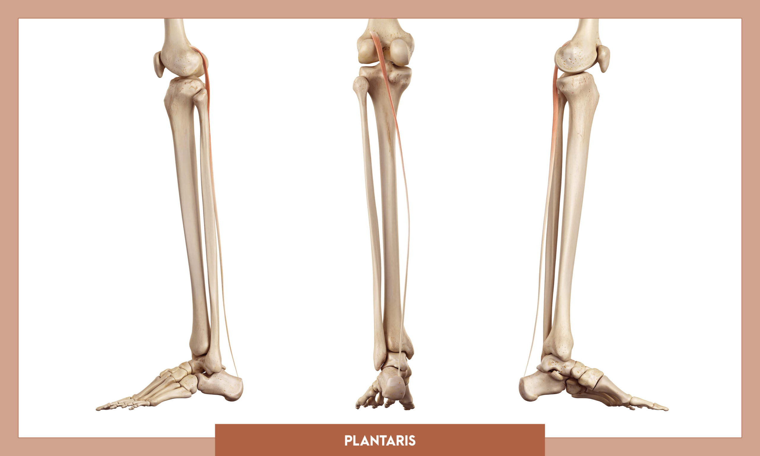 Muscles of thee Lower Limb - Plantaris