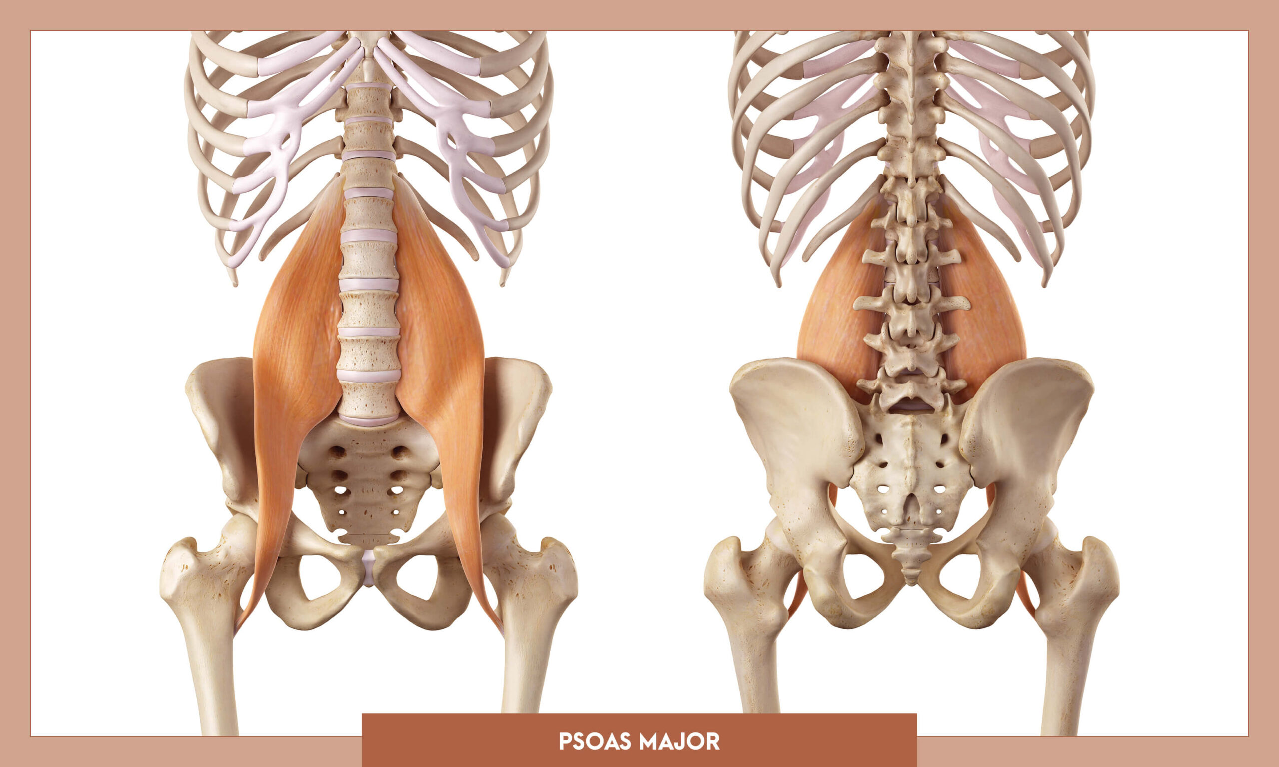 Muscles of the Lower Limb - Psoas major