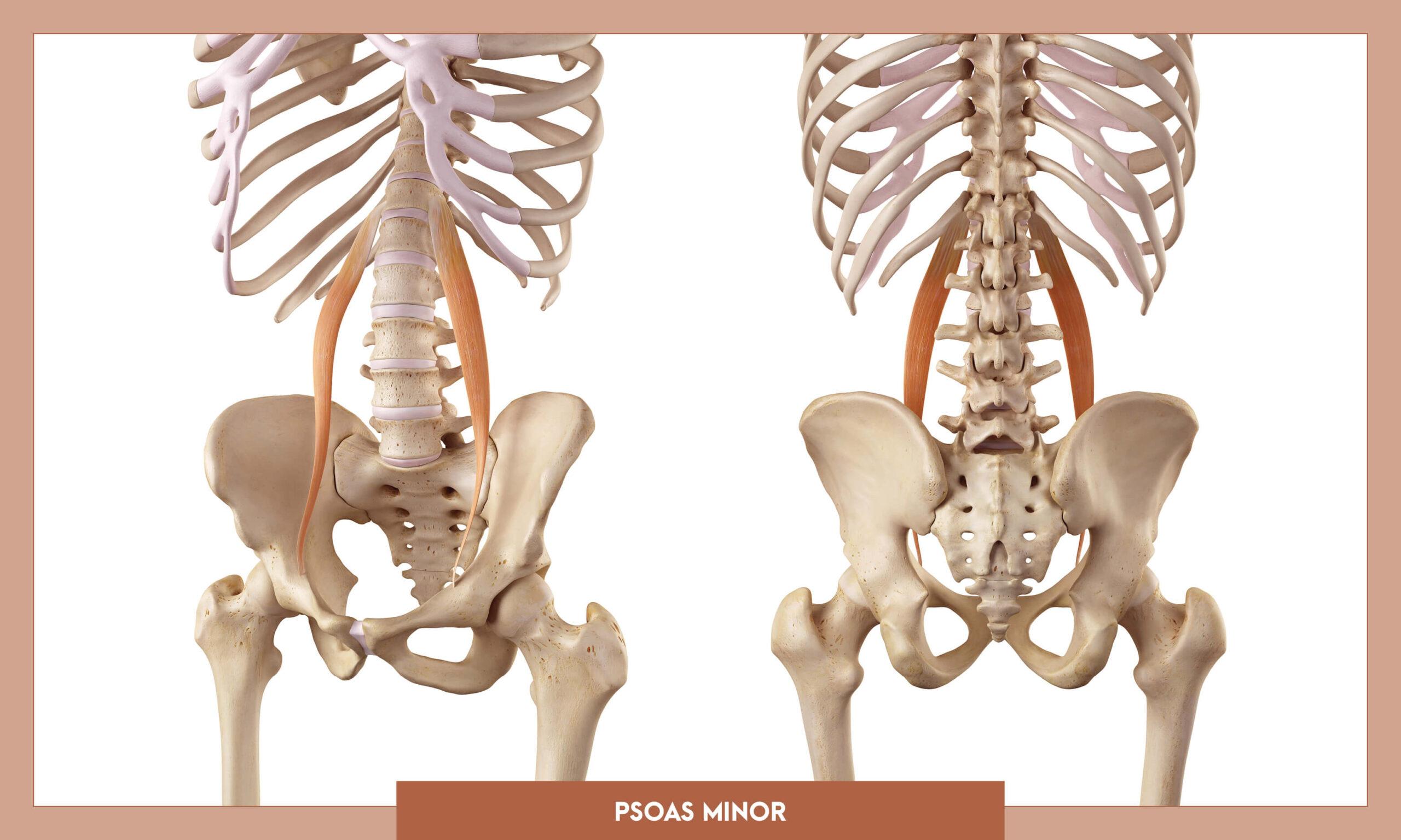 Muscles of thee Lower Limb - Psoas minor