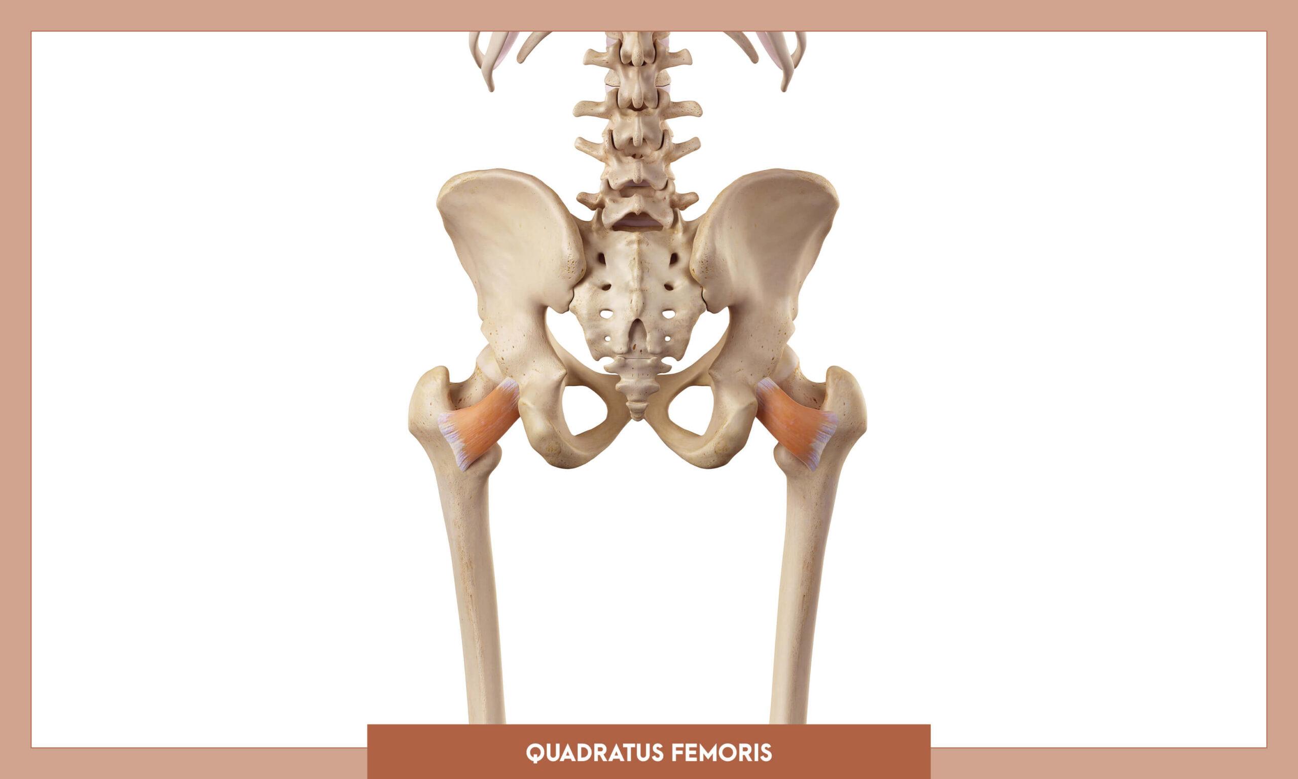 Muscles of thee Lower Limb - Quadratus femoris