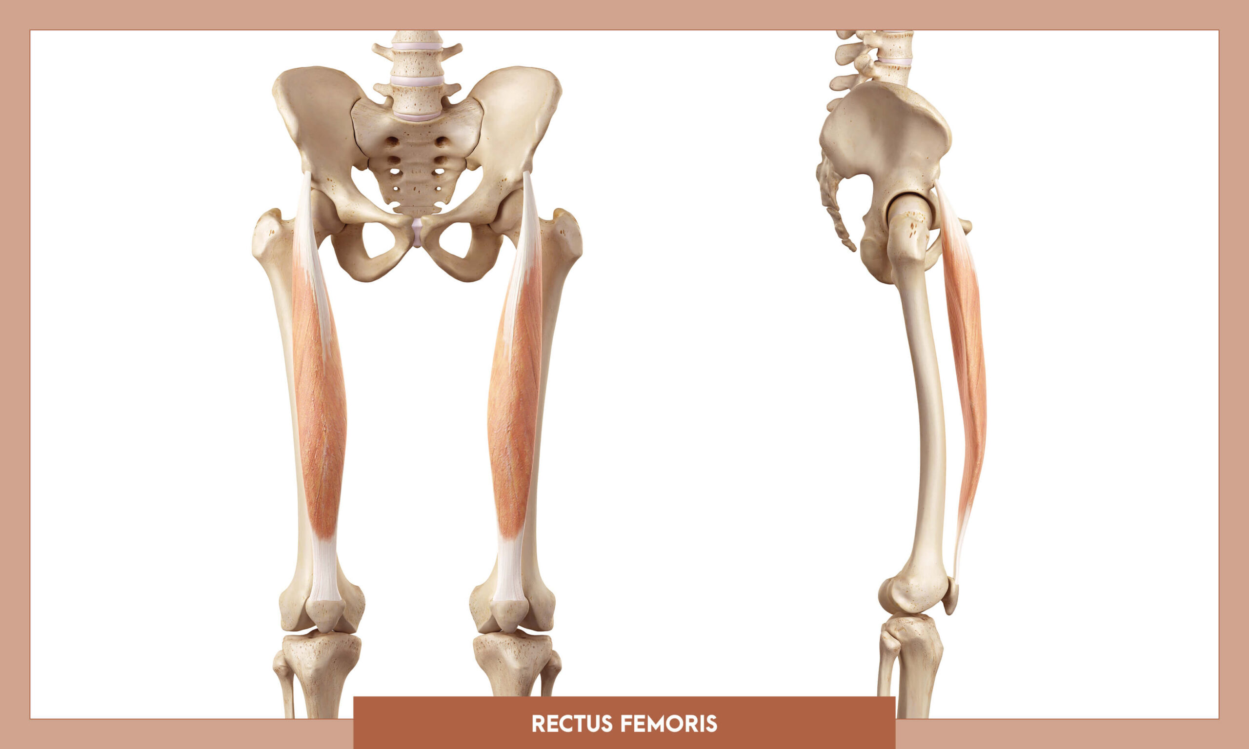 Muscles of thee Lower Limb - Rectus femoris