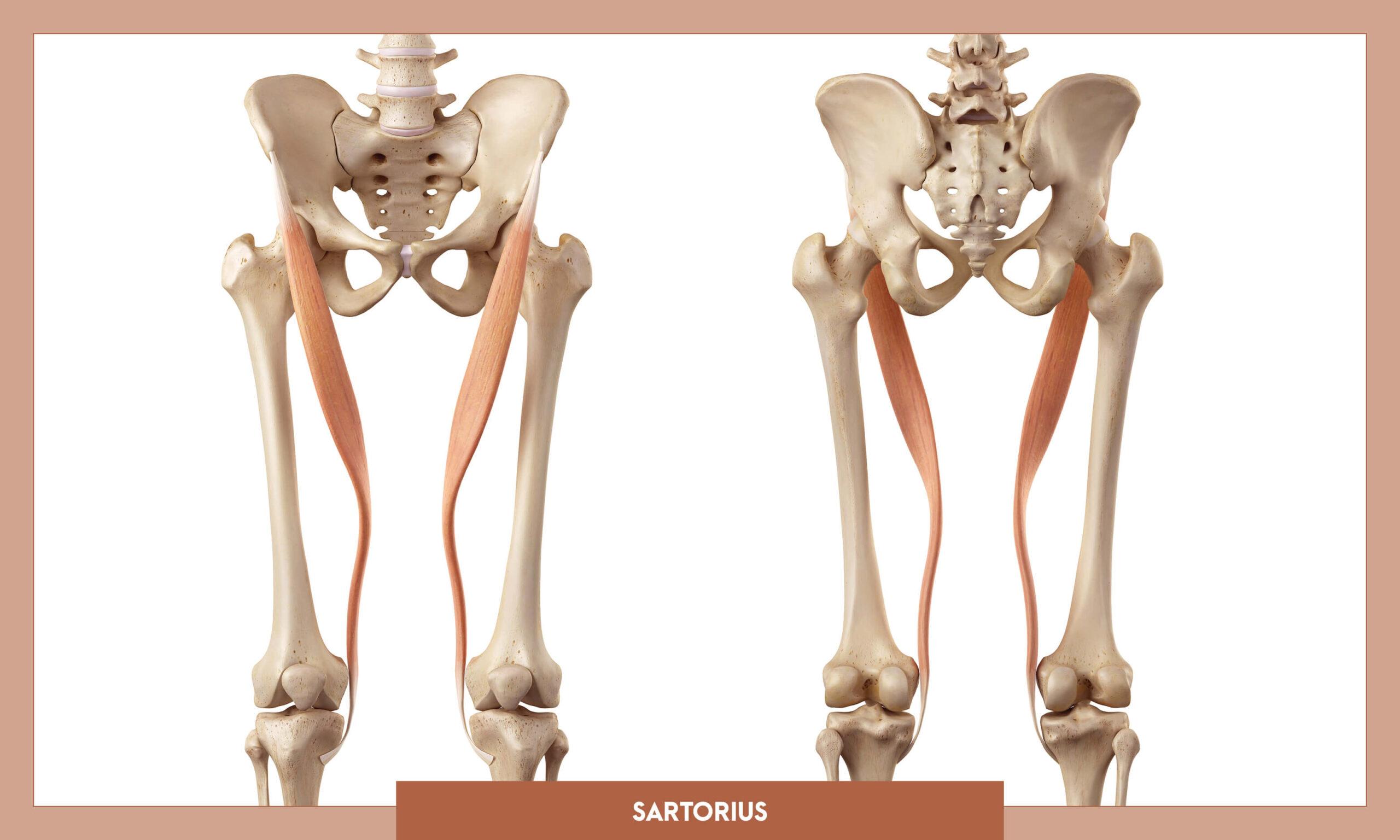 Muscles of the Lower Limb - Sartorius