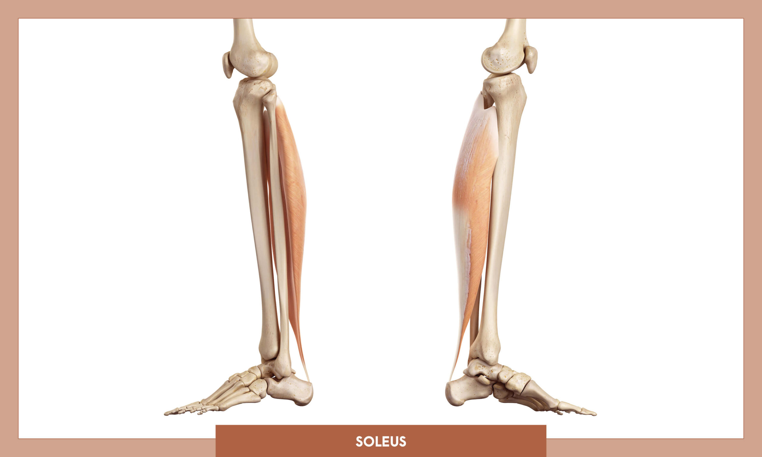 Muscles of thee Lower Limb - Soleus