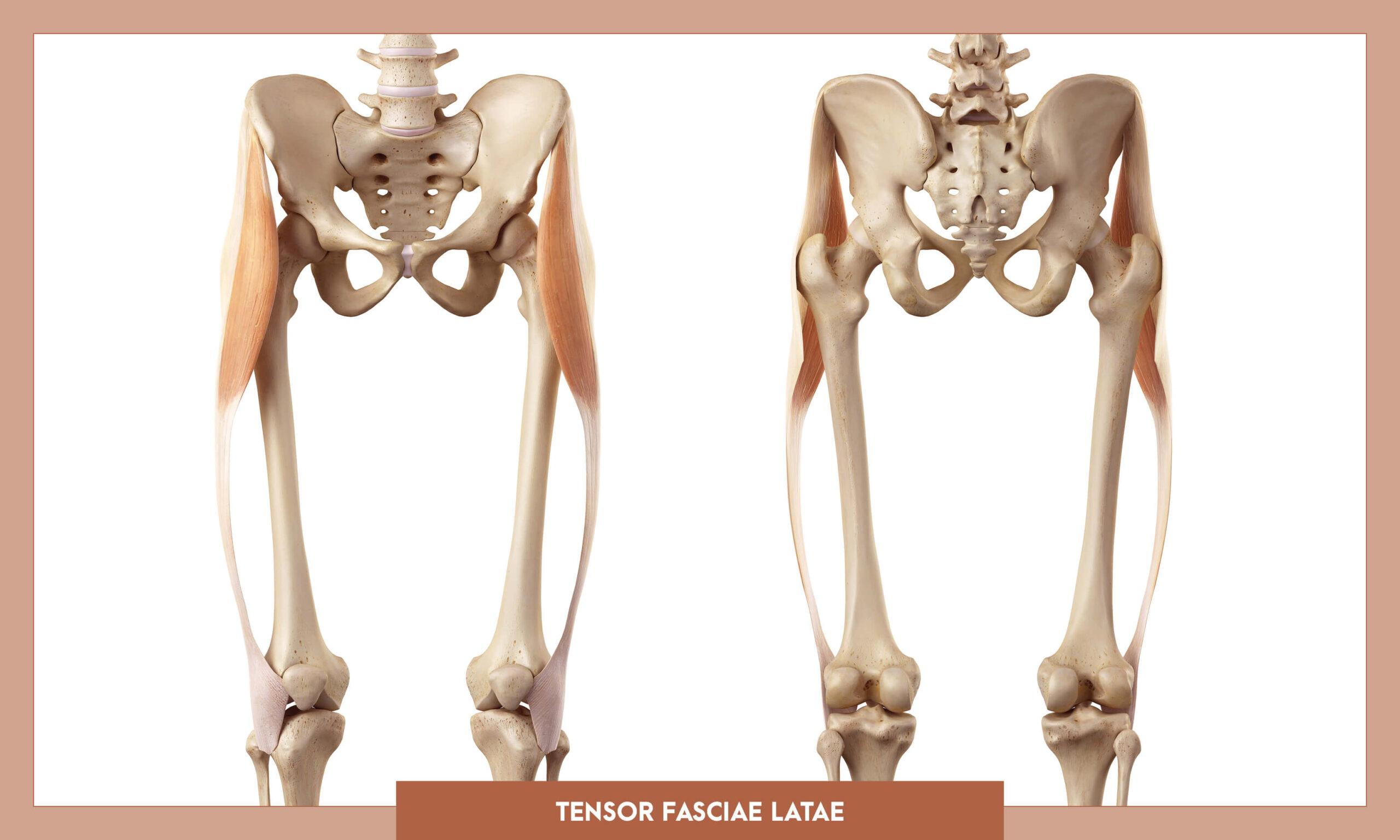 Muscles of the Lower Limb - Tensor fascia latae