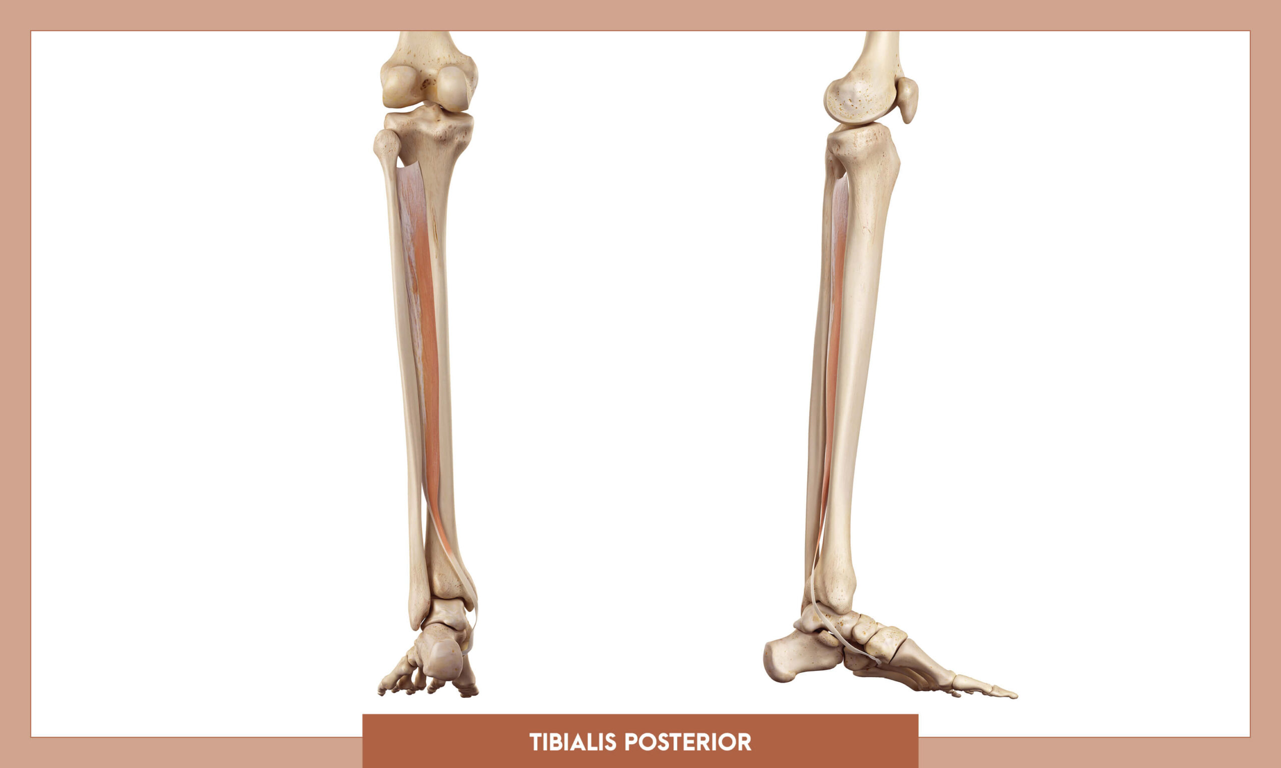 Muscles of thee Lower Limb - Tibialis posterior