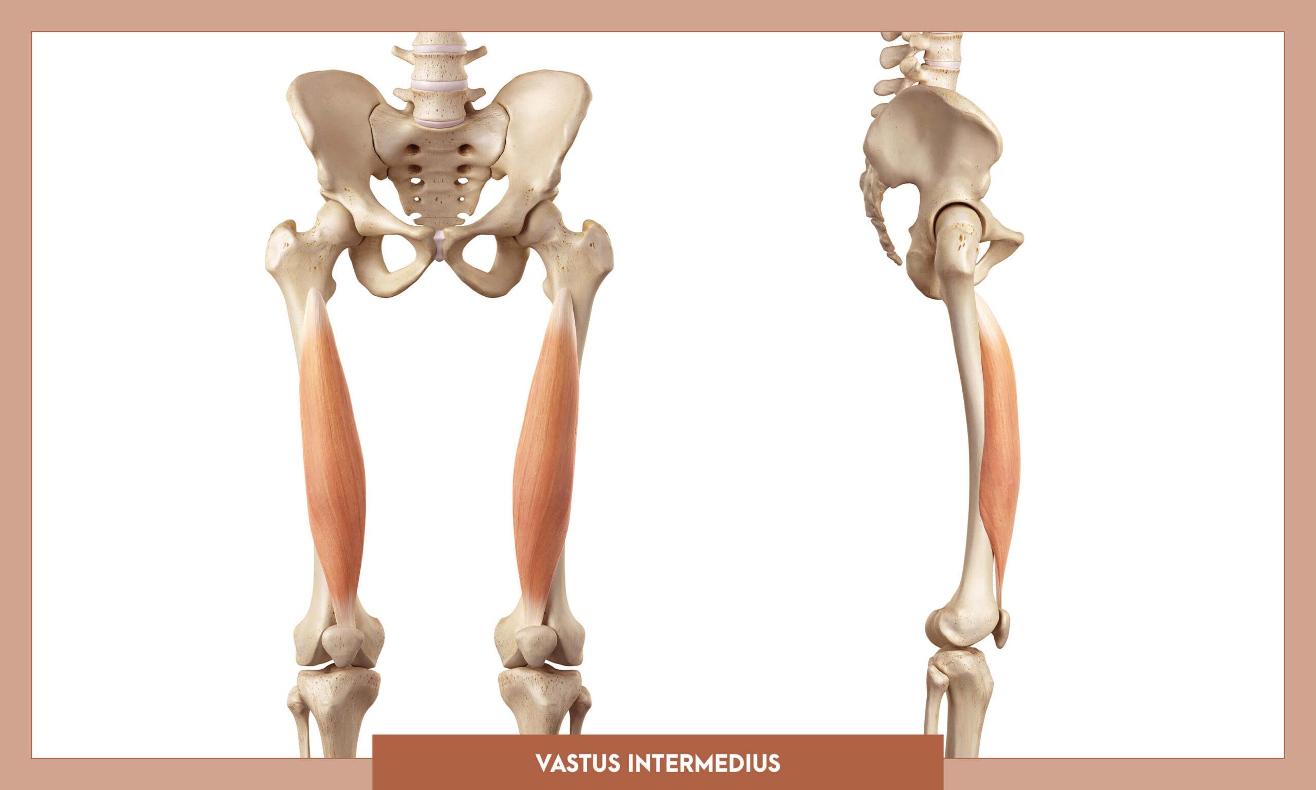 Muscles of thee Lower Limb - Vastus intermedius