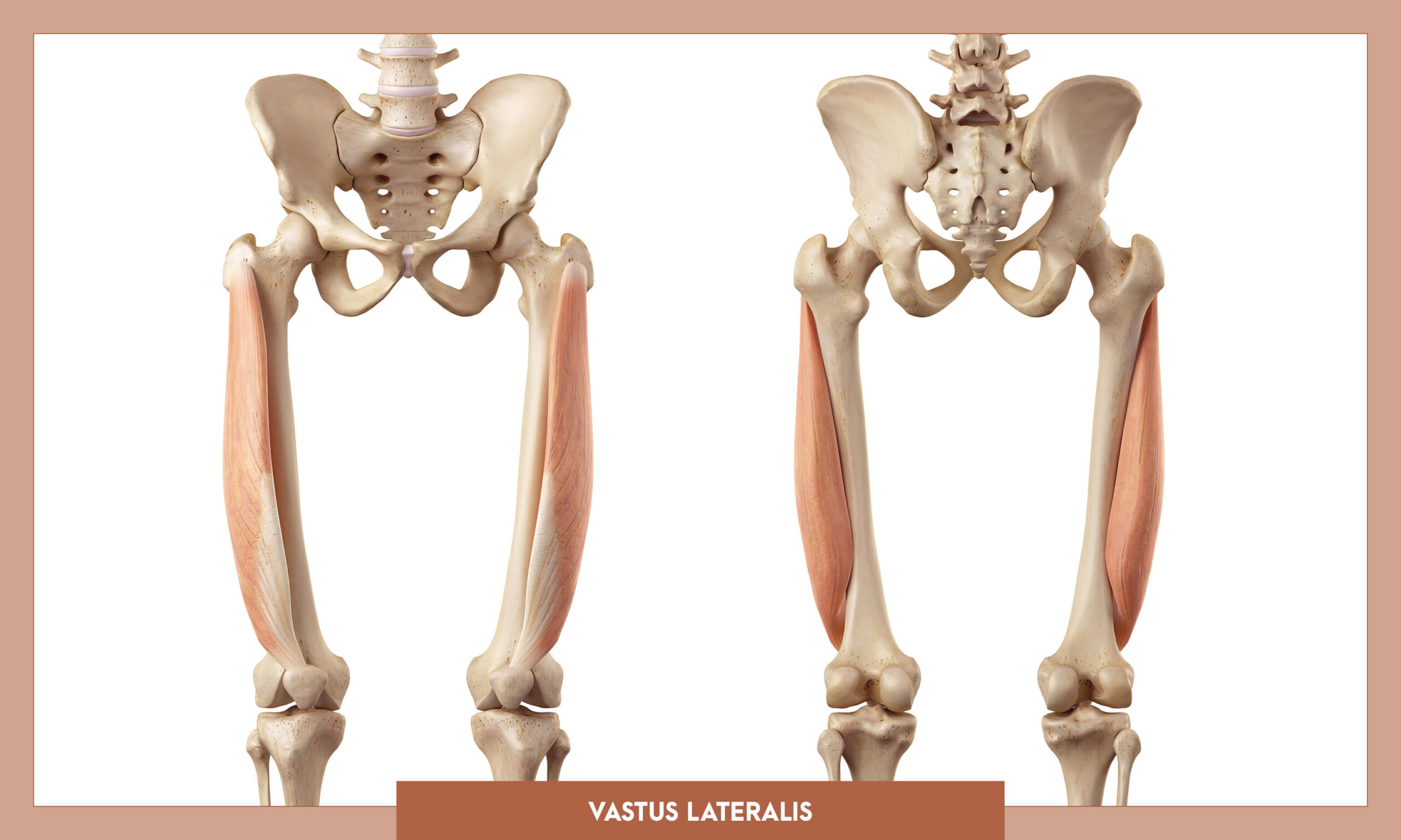 Muscles of thee Lower Limb - Vastus lateralis