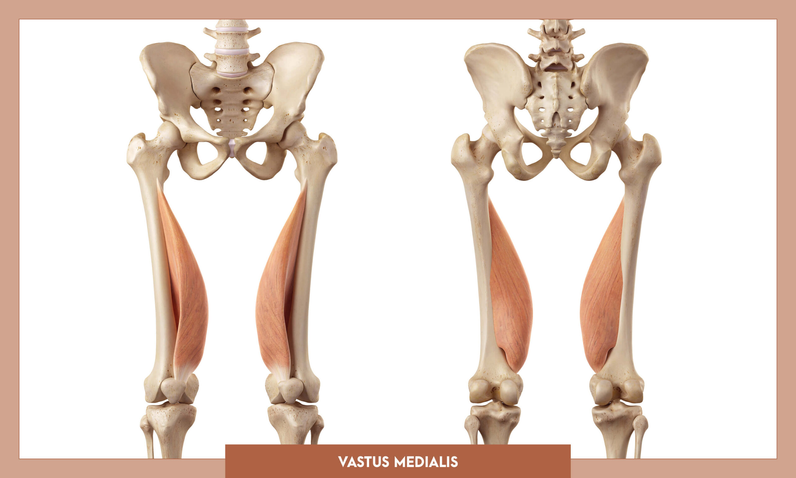 Muscles of thee Lower Limb - Vastus medialis