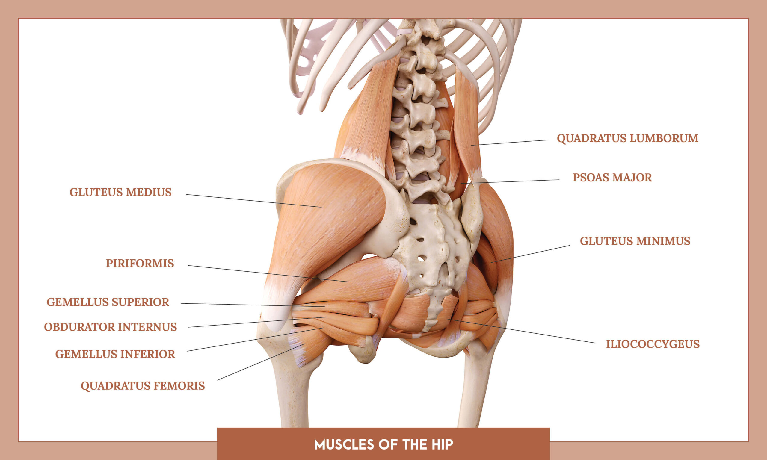 Muscles of thee Lower Limb - Muscles of the hip overview