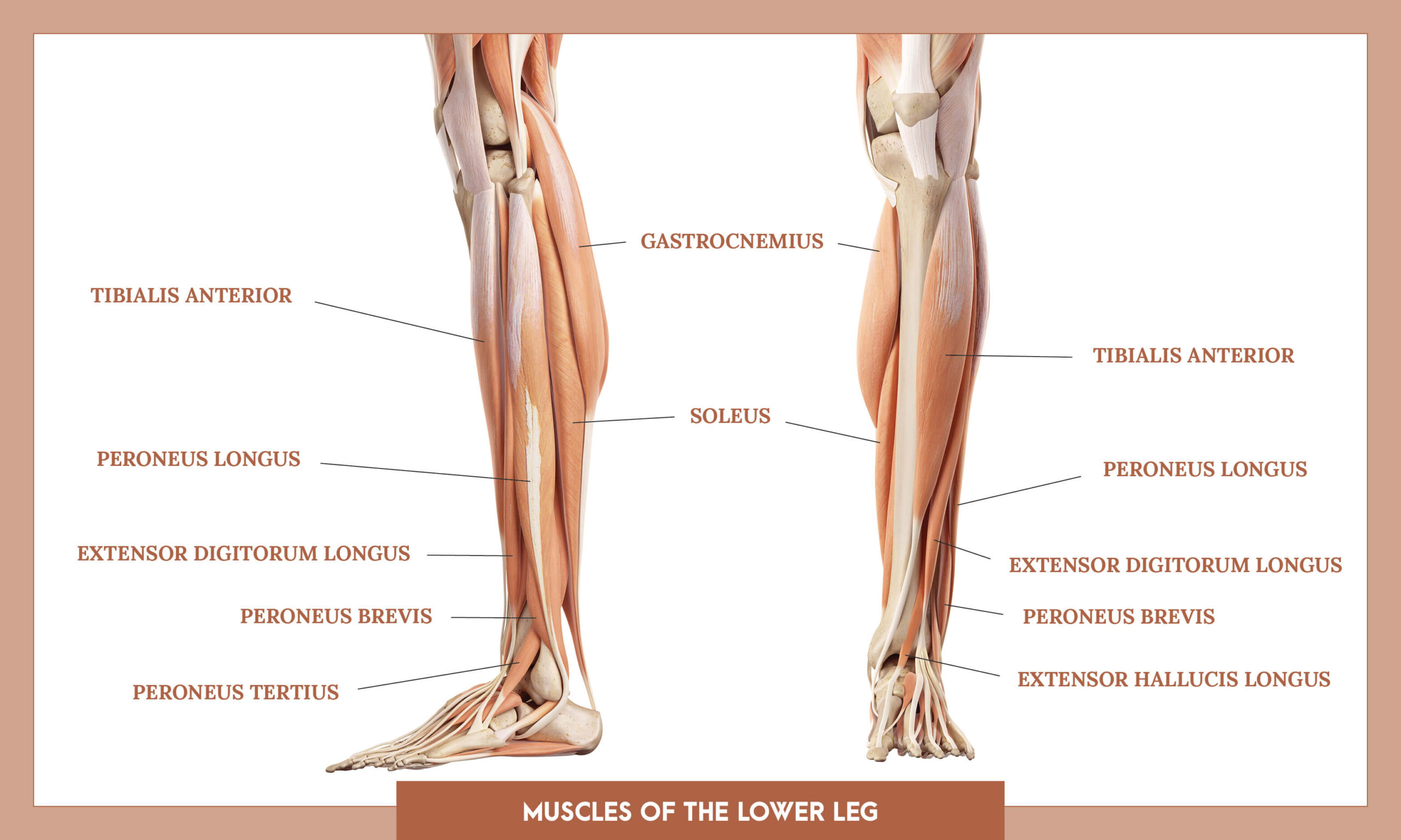 Muscles of thee Lower Limb - muscles of the lower leg overview
