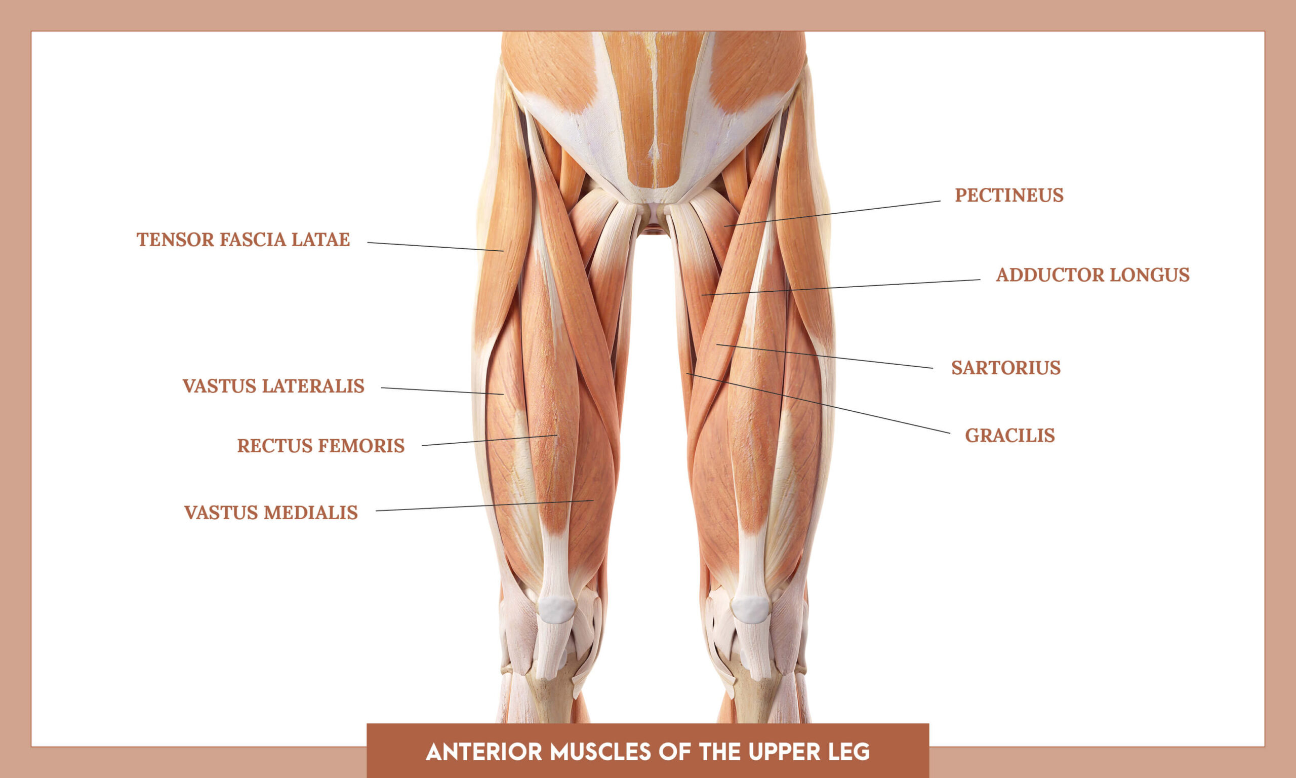 Muscles of thee Lower Limb - Anterior muscles of the upper leg overview