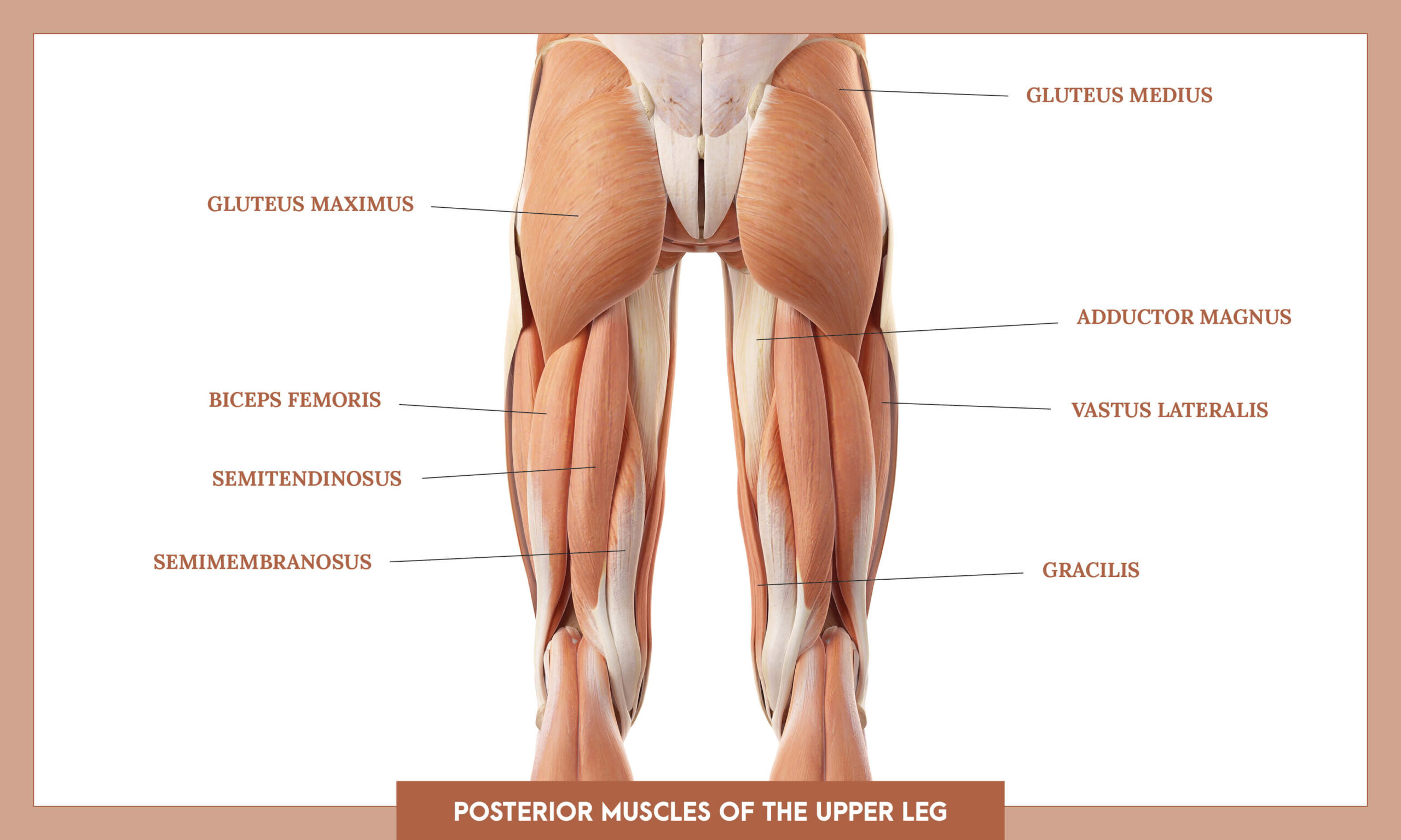 Muscles of thee Lower Limb - posterior muscles of the upper leg overview